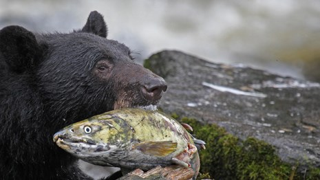 a black bear holds a salmon in its mouth with rocks and vegetation in the background.