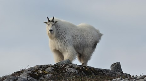 a mountain goat stands alone on a bare rock cliff.