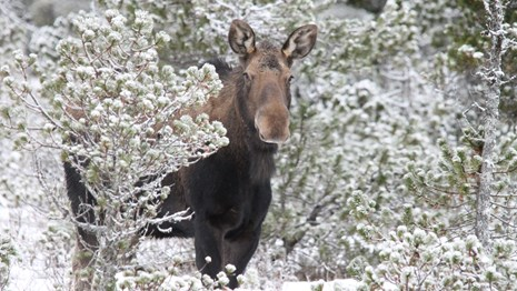 a moose stands in between snowy bushes, looking at the camera