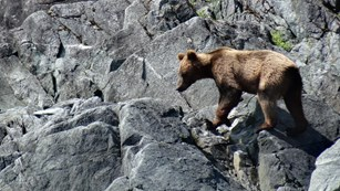 brown bear walks along cliff
