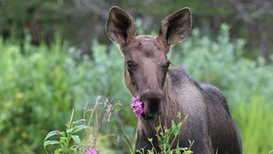 a young moose with a flower in its mouth stands in tall vegetation