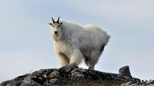 a lone mountain goat stands on a rocky cliff edge