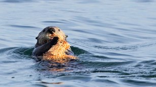 a sea otter holds food near its face in calm water