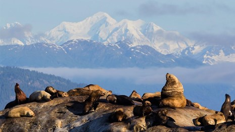 a group of steller sea lions on a rock with mountains in the background