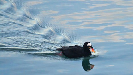 a surf scoter swims in glassy waters