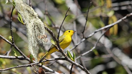 a small bright yellow bird sits on a branch