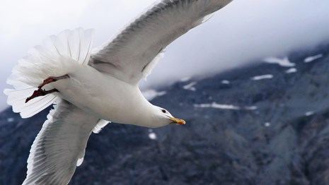 a glaucous-winged gull flies close up