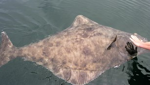 a large halibut with a hand for scale at the surface of the water