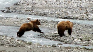 two brown bears at rocky stream