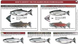Salmon Identification Chart