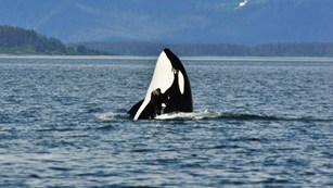 an orca spy hops out of the water