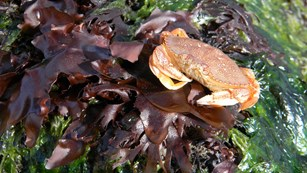 a crab sits on a bed of kelp