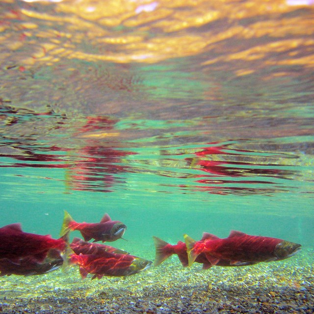 a group of sockeye in spawning colors (red and green) swim in murky water