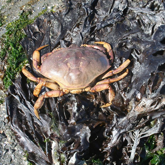 a dungeness crab on kelp