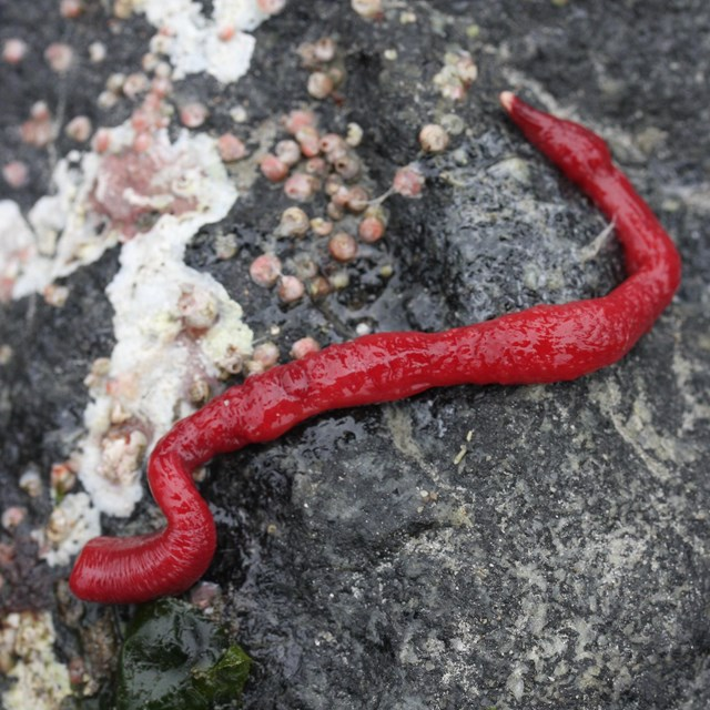 a bright red worm on a rock
