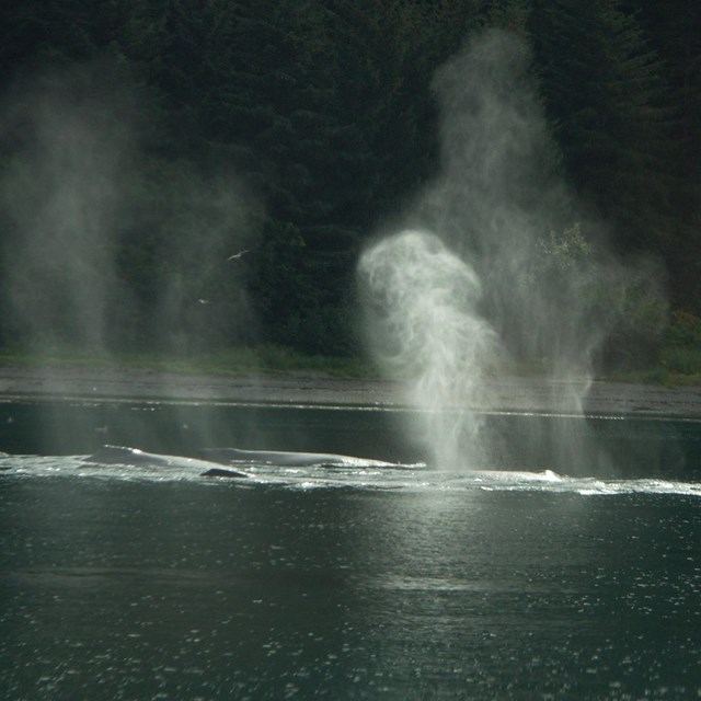 misty spouts of humpback whales