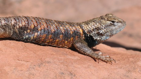 Spiny lizard with colorful pointed scales