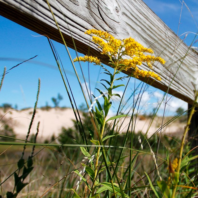 A fence rail and goldenrod flower with dunes in the background