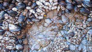 Close up of barnacles and mussels.