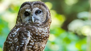 Photo of a northern spotted owl.