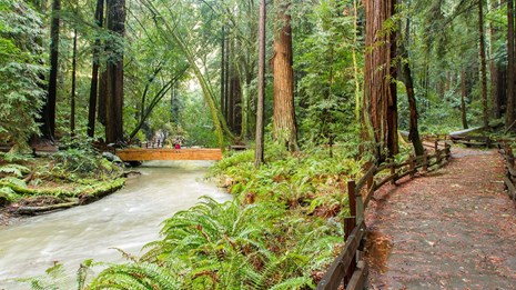 View of redwood creek and path winding through Muir Woods.