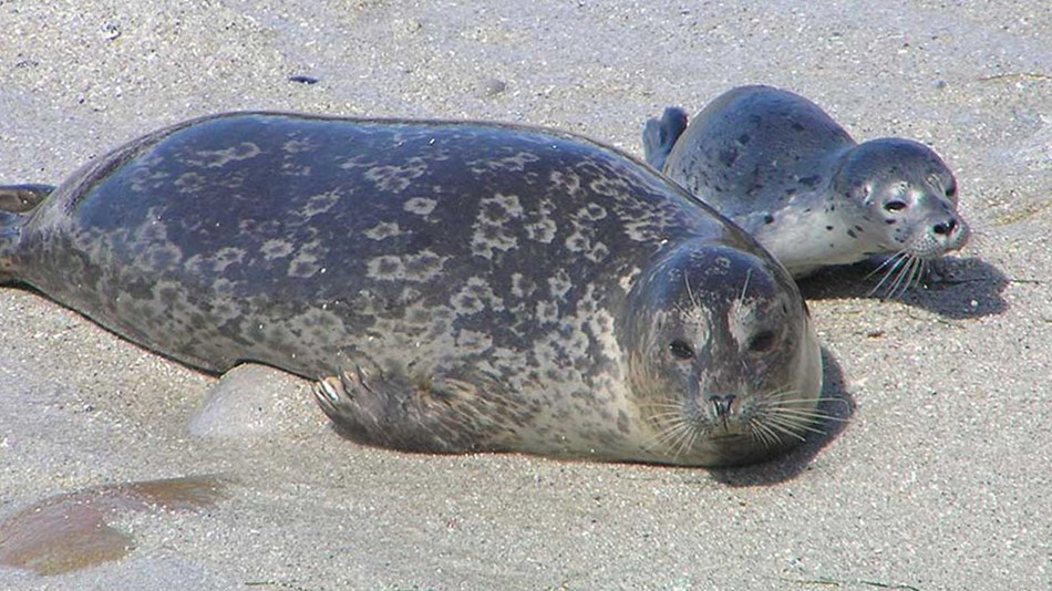 Female harbor seal and pup.