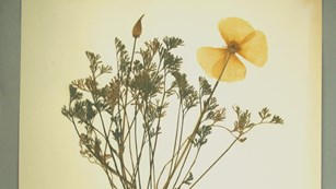 Natural History specimen, a pressed California poppy