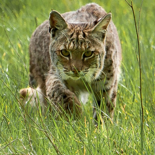 Close-up image of a bobcat in tall grass.