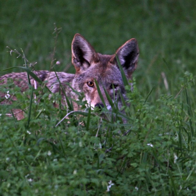Image of a coyote peaking out from tall green grass.