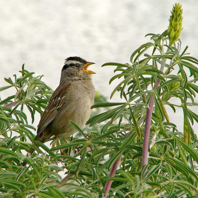 White-crown sparrow singing in a tree.
