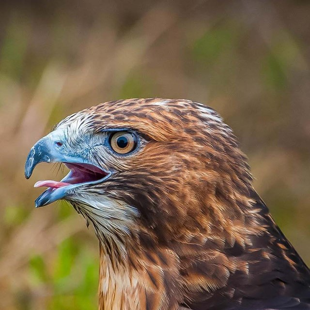 profile of cawing hawk