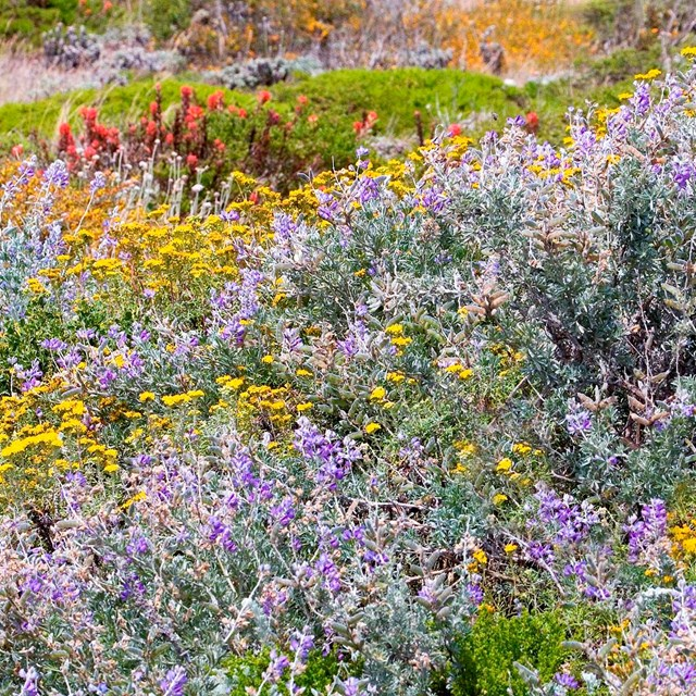 Photo shows a patchwork of colorful dune scrub plants.