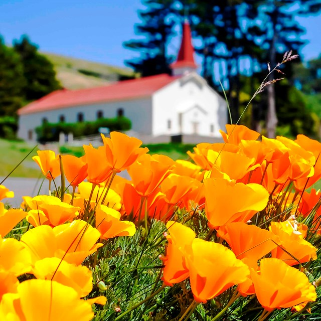 California poppies in front of the Fort Baker chapel