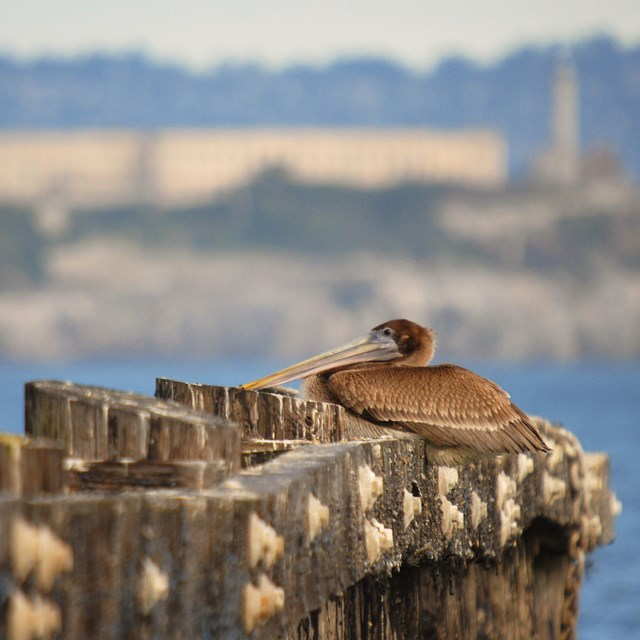 Brown pelican resting on a pier with Alcatraz in the background
