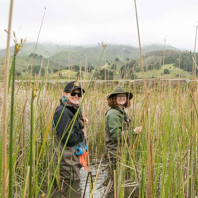 Natural resource scientists wade through a stream amongst tall reeds.