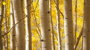 Aspen trunks in fall. Photo credit: Pasha C (flickr)