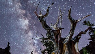 Dead bristlecone with Milky-way in background