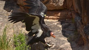 California Condor with wings outstretched is landing on a slickrock ledge
