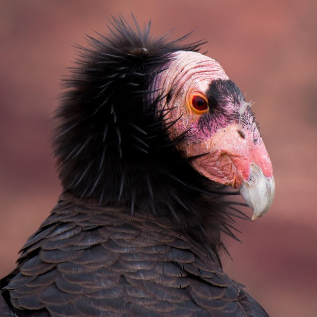 A close up photo of a California Condor's bald head surrounded by black feathers.