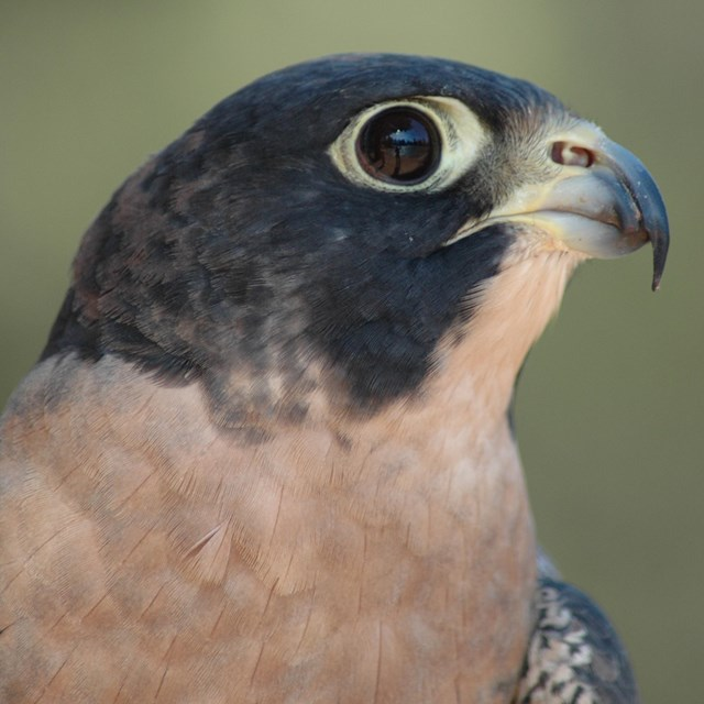 A close-up shot of the dark hooded head of a peregrine falcon.