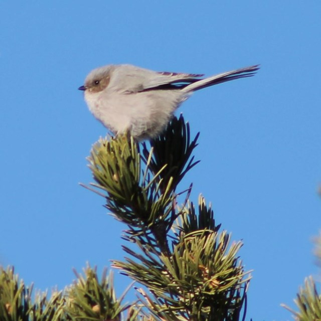 A very small grey bird, a bush tit, at the tip of an evergreen tree.