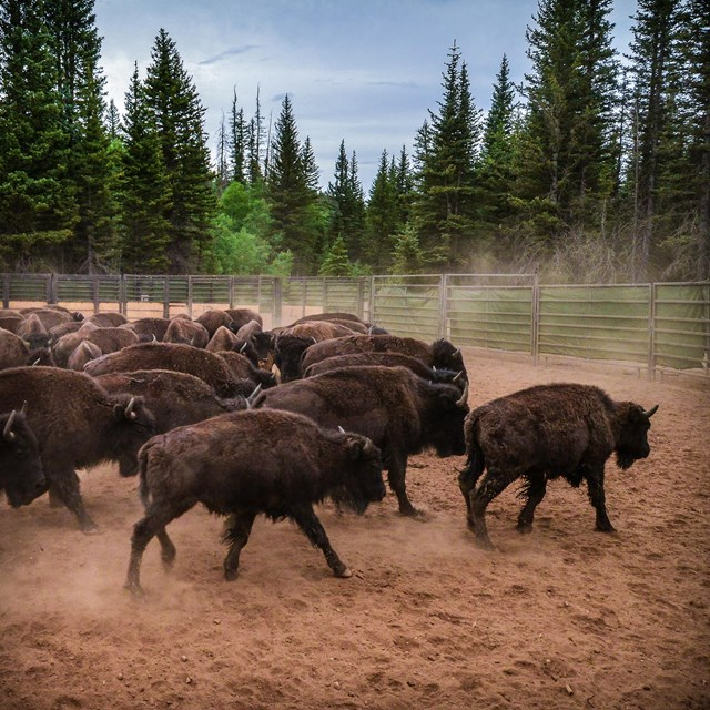 a herd of bison kick up dust inside of a corral with a mixed conifer forest in the background.
