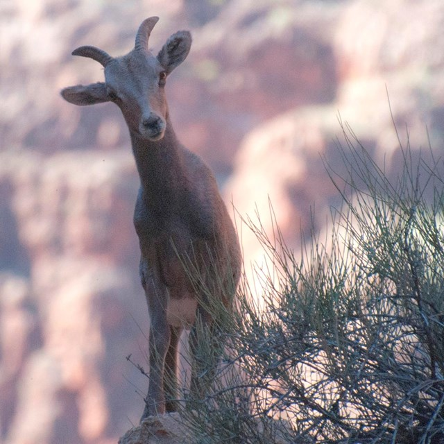 A female bighorn sheep peers around a bush with a red wall canyon backdrop.