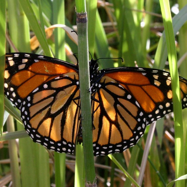 An orange monarch butterfly rests in the grass.