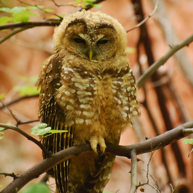 An owl perched in leafy bush with the red wall behind it.