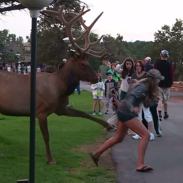 A picture of an elk  kicking at at the back of a young woman who was trying to get a selfie.