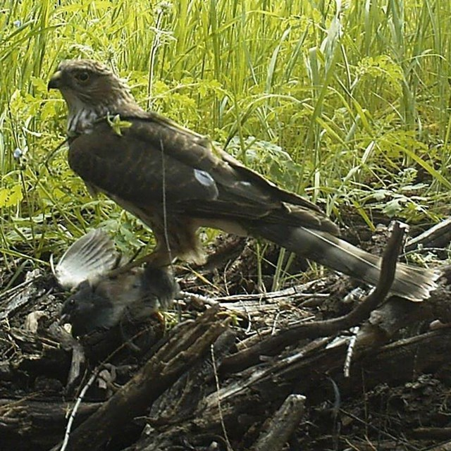 A hawk on the ground with a smaller bird in its talons