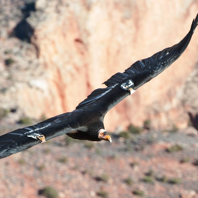 Female condor number 87 in flight in the canyon.