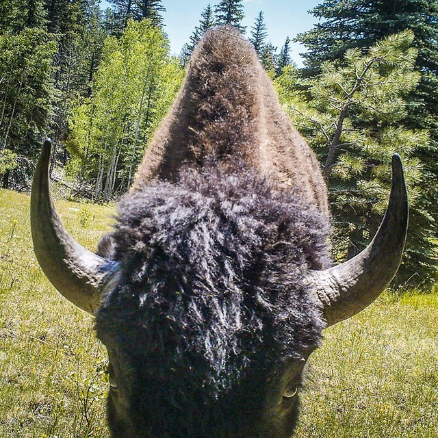 Close up of bison head showing matted fur, thick horns, and a large shoulder hump.