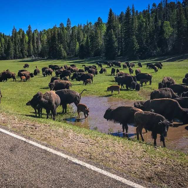 A herd of 80 bison grazing in grassy meadow near paved road. In background is mixed conifer forest.